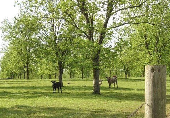 Trees surrounded by green grass and open space. In the open space, there are three cattle, all staring in the direction of the camera.