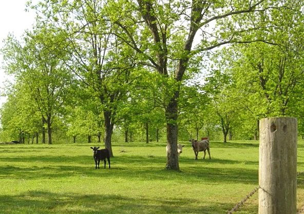 Example of silvopasture-grazing cattle in a pecan grove at Crenshaw Farm near Como, Mississippi.