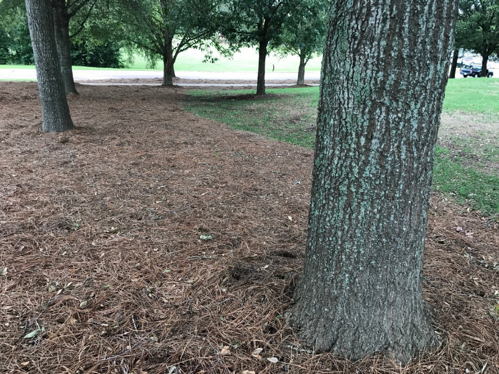 Pine straw landscaping on the campus of Mississippi State University.