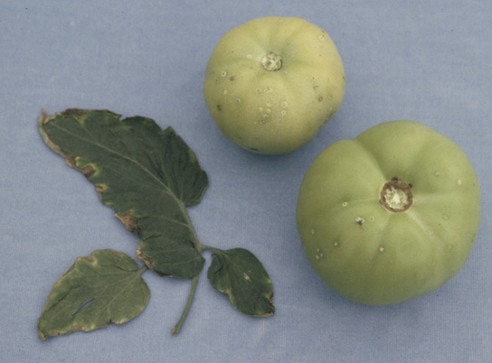 Two green tomatoes and a tomato leaf showing symptoms (description in text) of bacterial canker.