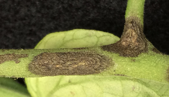 Close-up of a tomato stem showing symptoms (described in text) of early blight.