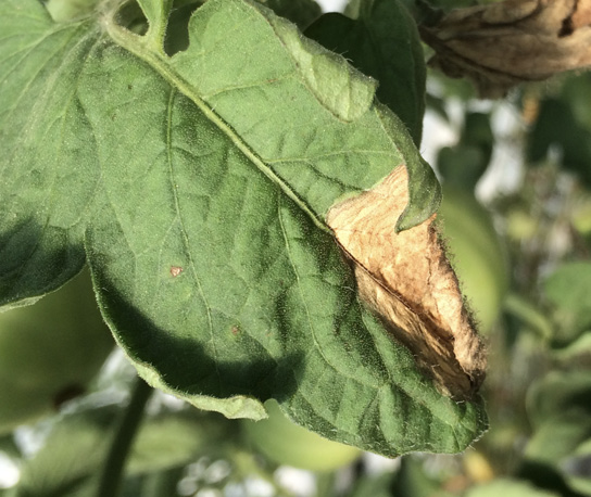Close-up of a tomato leaf showing symptoms (described in text) of gray mold.