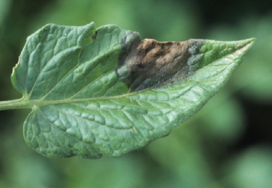 A single tomato leaf showing symptoms (described in text) of late blight.