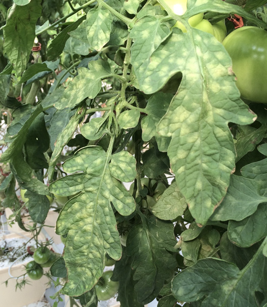 A tomato plant showing symptoms (described in text) of yellow leaf mold.