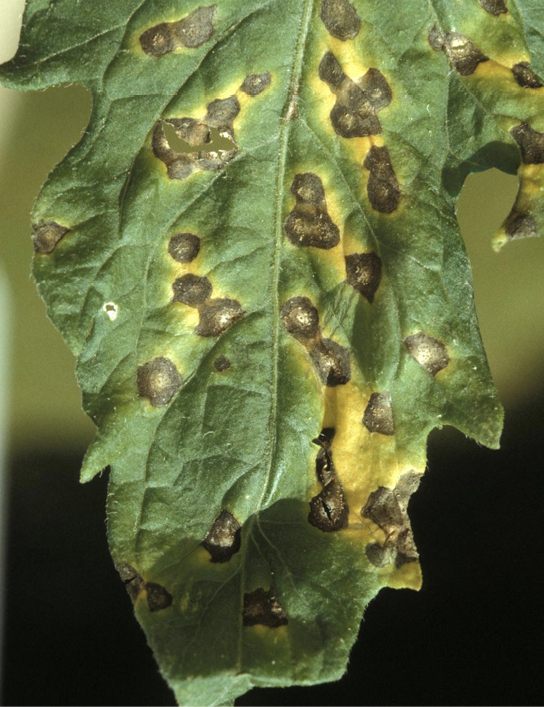 Close-up of a single tomato leaf showing symptoms (described in text) of Septoria leaf spot.