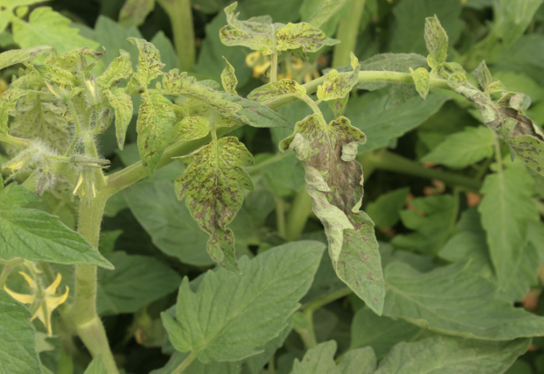 A tomato plant showing symptoms (described in text) of tomato spotted wilt.