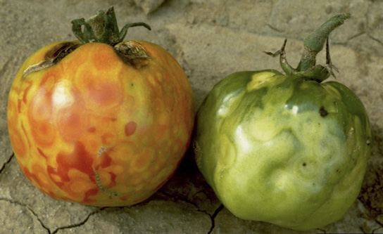 One reddish and one green tomato showing symptoms (described in text) of tomato spotted wilt.