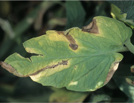 A single tomato leaf showing symptoms (described in text) of Verticillium wilt.