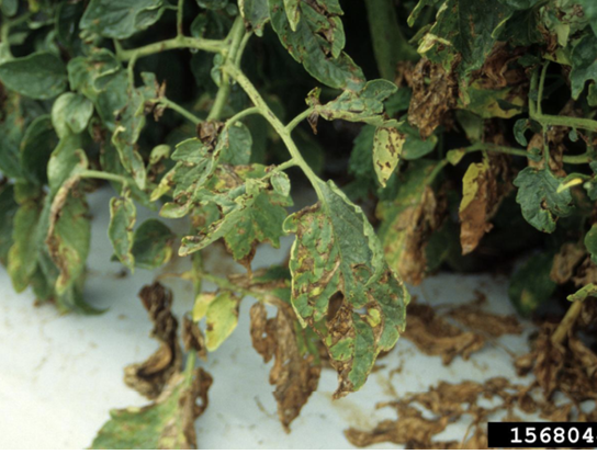Many tomato plant leaves showing symptoms (described in text) of bacterial spot.