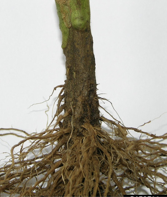 A tomato stem showing symptoms (described in text) of bacterial wilt.