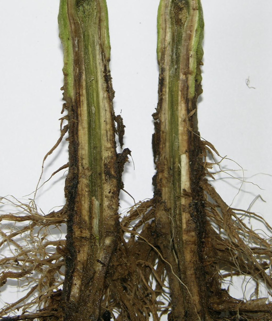 A tomato stem split in half lengthwise, showing symptoms (described in text) of bacterial wilt.