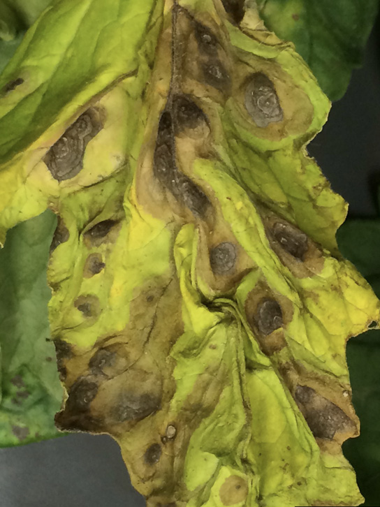 Close-up of a tomato leaf showing symptoms (described in text) of early blight.