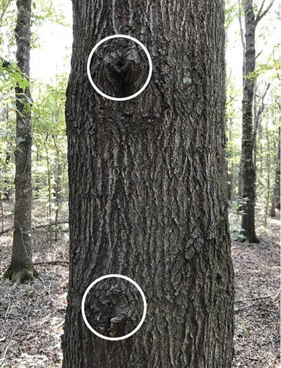 The tree with two knots on the trunk which are defects and will affect the tree grade.