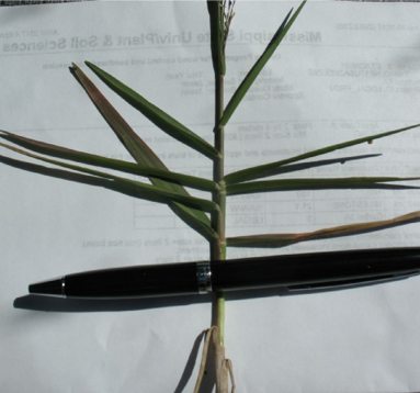 A single stalk of torpedograss with multiple flat leaf blades.
