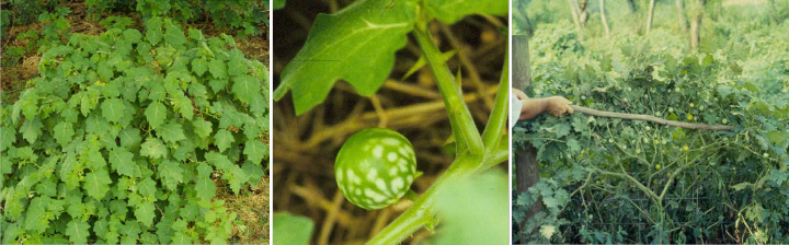tropical soda apple plant, leaves with prickles, and plant with mature (yellow) and immature (green mottled) fruit.