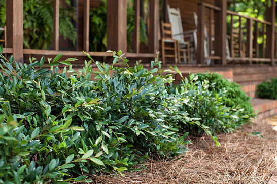 Distylium 'Vintage Jade' as a border in front of a wooden porch. The distylium has dark green oblong leaves.