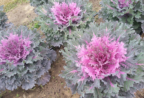 Four fancy leaf kales with ruffled layered leaves. The outside layers are a lark purple and grayish-green, while the insides are fuschia.