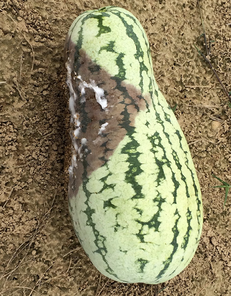 A green watermelon resting on soil. The watermelon has a large, brown area with a white, cottony substance on it.