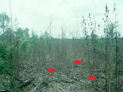 A woody release operation where herbicide has controlled undesirable woody and herbaceous vegetation leaving pine seedlings unharmed. The unharmed pine seedlings are indicated by arrows.