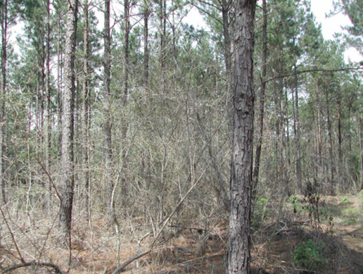 A pulpwood-sized stand of pine trees where understory hardwood species have been cntrolled through herbicide application.