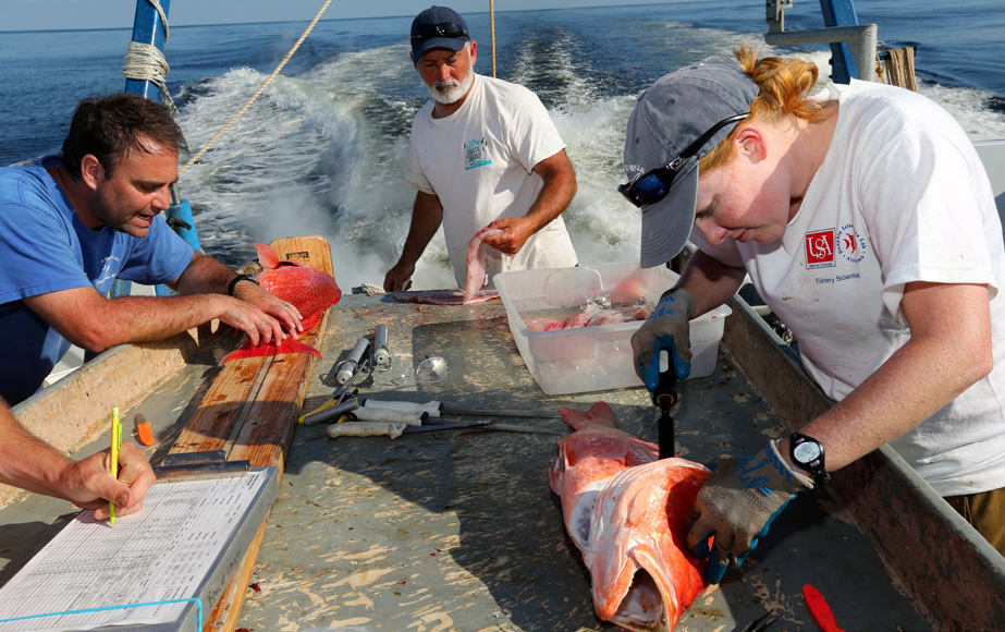 Four scientists on the back of a boat working at a table. One scientist measures the red snapper, one scientists writes the information down, one scientists measures something internally in a red snapper, and the last scientist cleans the fish.