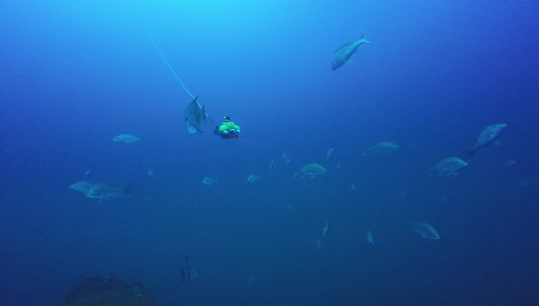 Underwater view of many red snapper swimming around a remotely operated vehicle (ROV). A cable attaches the ROV to a controller onboard the research vessel.