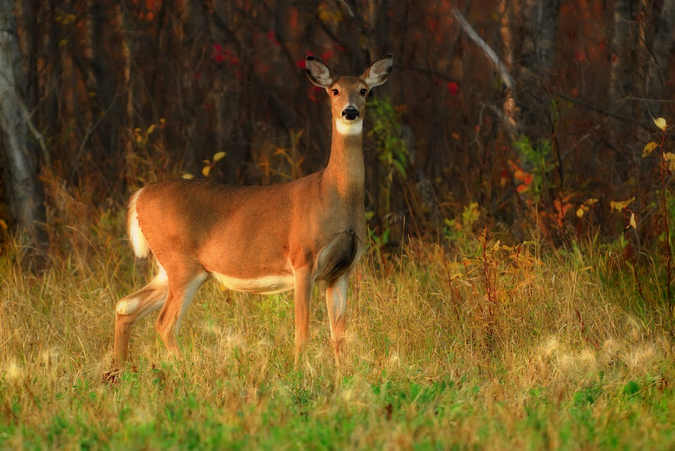 A white-tailed doe stands in a grassy clearing, looking directly at the camera. An autumn forest is visible in the background.