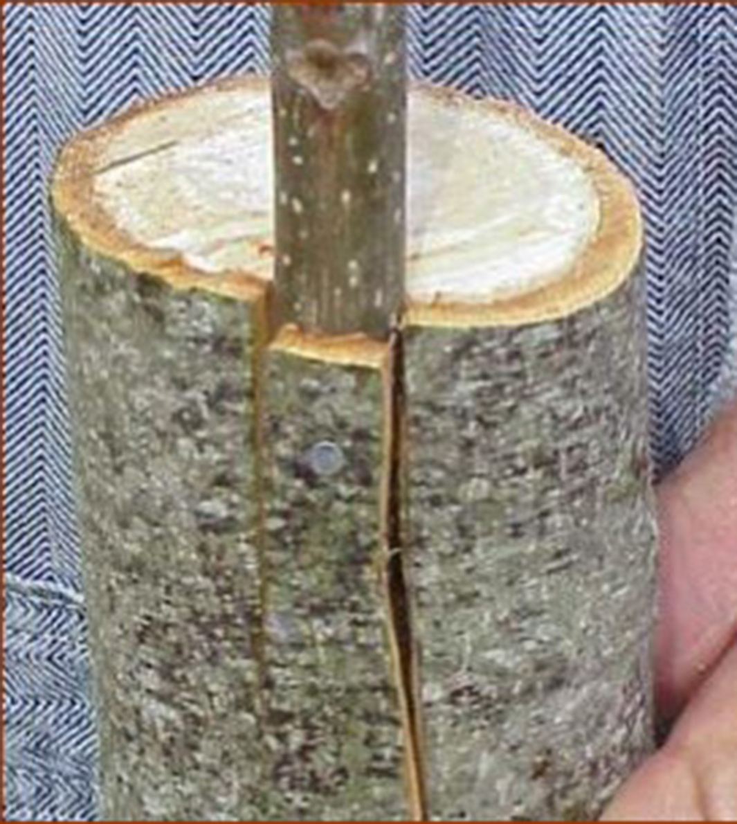 A finished bark graft shows the new scion branch secured by a small nail in the cut made in the larger branch.