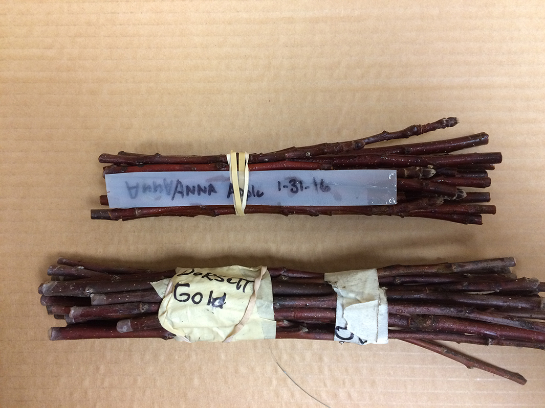 Two bundles of stems, one wrapped with a rubber band and one wrapped with tape. Both have labels with their variety names written on them.