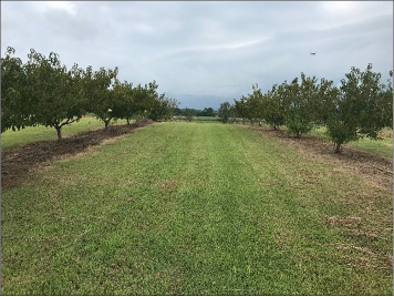 A wide lane of green grass running between two rows of fruit trees.