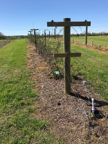 A row of wooden posts with one large cross post at the top and a smaller cross post in the middle. Wires run through the cross posts. Woody blackberry stems grow up onto the wires. An irrigation line runs along the row.