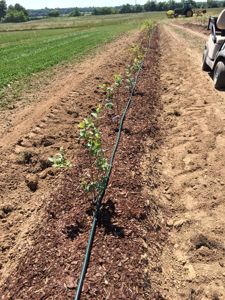 A row of small trees with an irrigation hose running down the row.