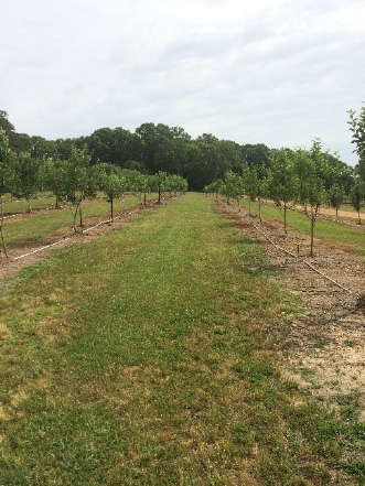 Two rows of five apple trees each separated by a grassy area.