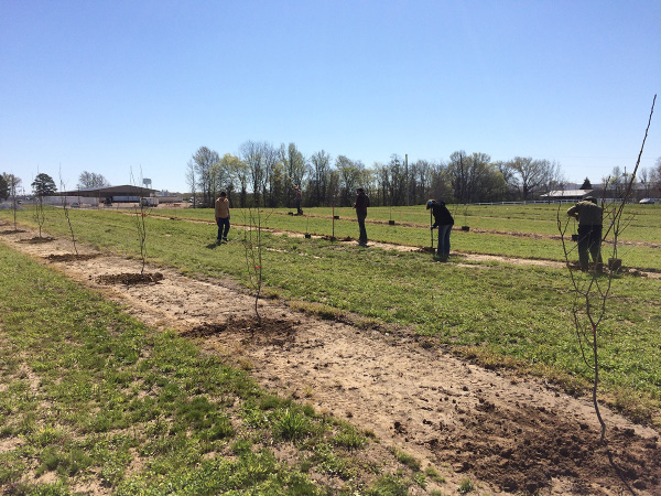 Several rows of freshly planted small trees. Workers are planting more trees in the background.