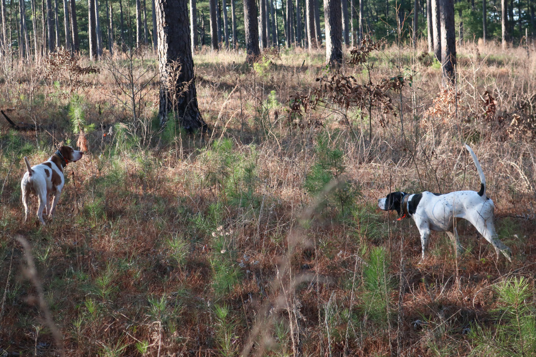 Two hunting dogs in woods.