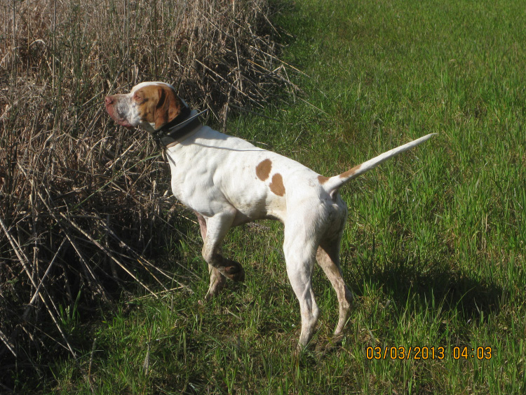 A hunting dog stands on point at the edge of a grassy area.