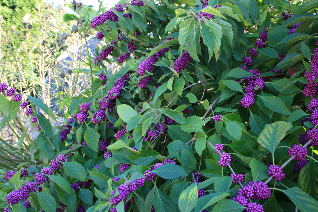 A plant with light green leaves and large clusters of purple berries.
