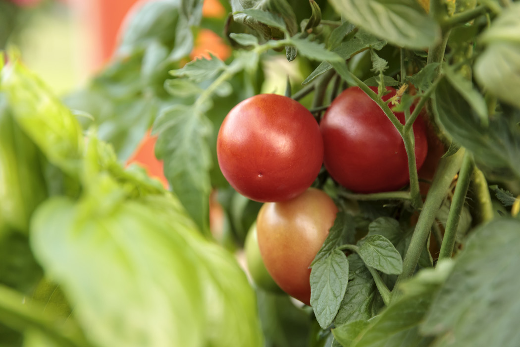 Close-up of a tomato plant with three small, red tomatoes in a bunch.