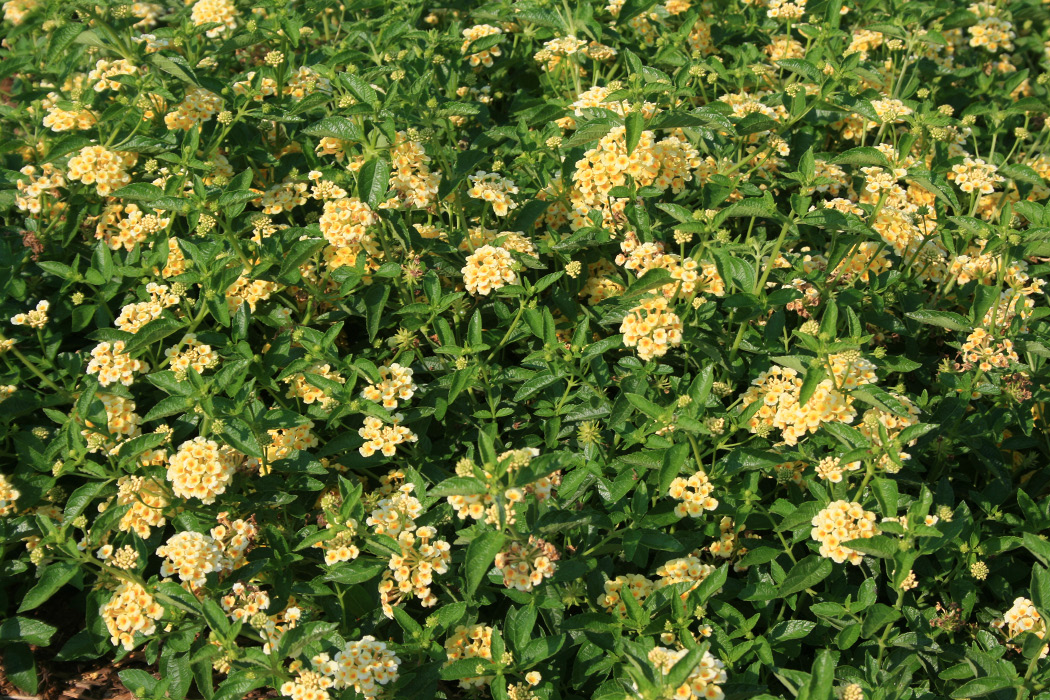 A mound of yellow-flowered lantanas.