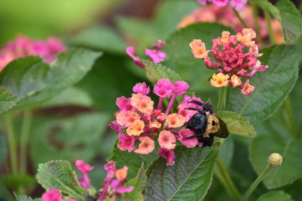 Close-up of a bee on a cluster of pink lantana flowers.