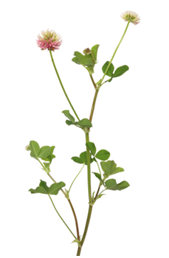 Alsike clover plant with green leaves and two small flowers, one pink and white and one only white.