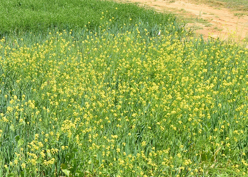 Large field of yellow flowers.