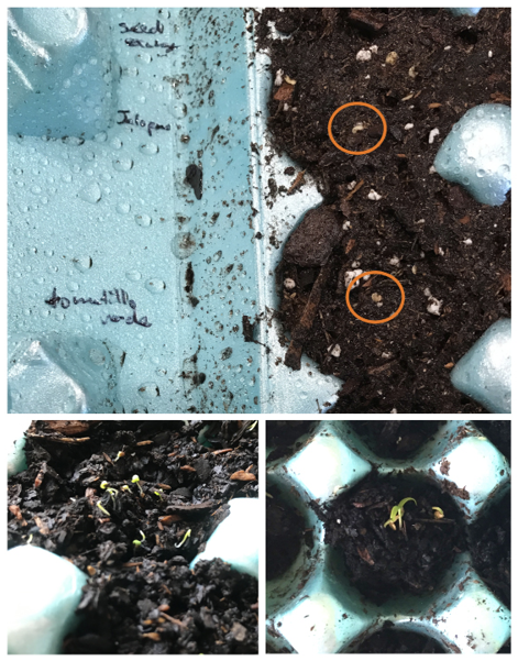 Close-up of a blue egg carton with seed names written in black ink across from two potting media-filled egg sections with two small seeds visible on top. Also shows very small seedlings beginning to emerge from potting media in egg carton sections.
