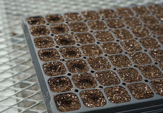 A large plug tray with sections filled with potting media. Each section has a shallow indentation in its center.