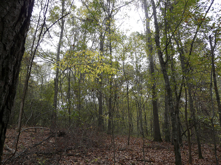 A post-high grade hardwood forest where all of the larger, economically valuable trees have been removed, leaving only small trees.
