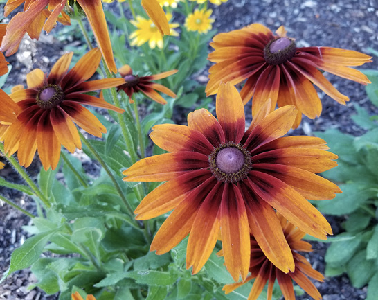 Flowers with orange petals that change to dark red toward the center cones.