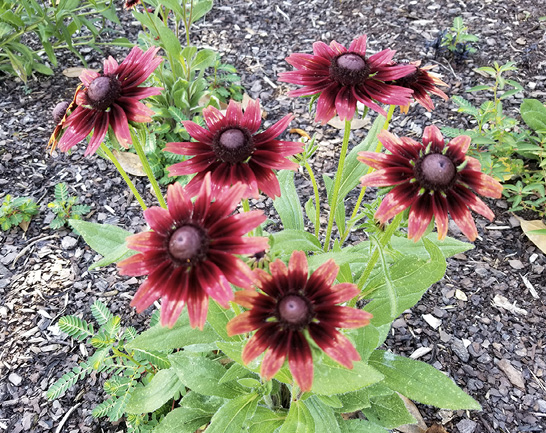 Flowers with pini-red petals that change to crimson toward the center cones.