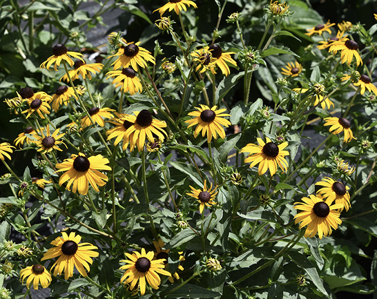 A large bunch of flowers with bright yellow petals and round, brown centers.
