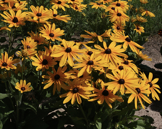 A large bunch of flowers with golden yellow petals and dark brown center cones.