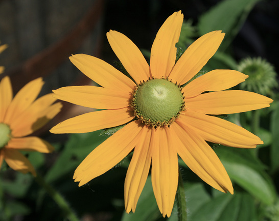 A single flower with yellow-gold petals and a bright green center cone.